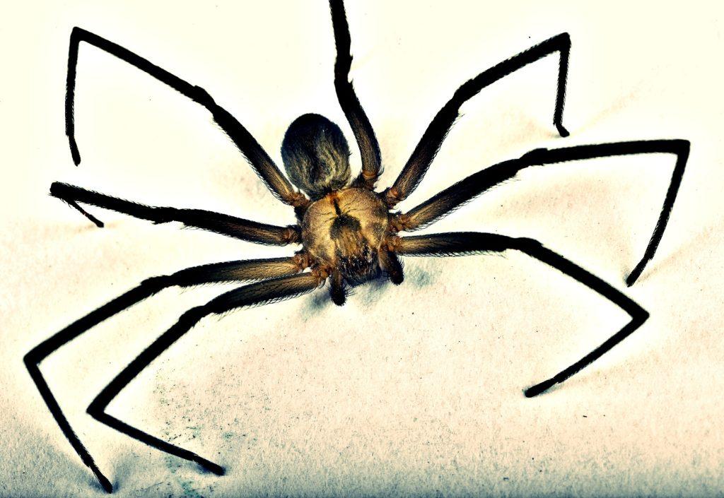 brown recluse spider bites - HD1600×1101